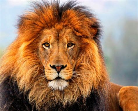 Lion Wallpapers Hd Animals 3840x2400 : Wallpapers13