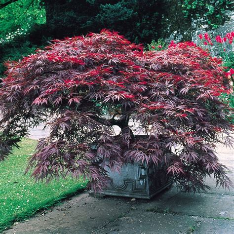 Identical leaf formation to the Acer Dissectum but with