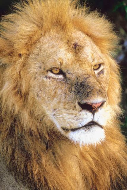 Adopt a Lion From World Animal Foundation