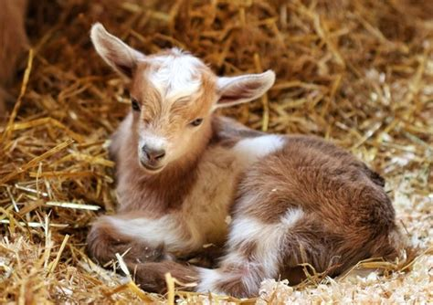 Zoo New England names its goat after Nick Foles after